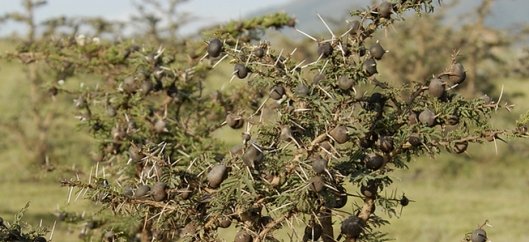 árvore espinhosa da tanzânia da qual se alimentam girafas